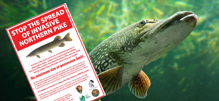 Northern Pike are a Prohibited Species in Washington State